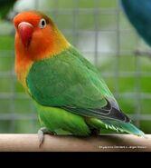 Lovebird, Fischer's