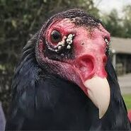 Noah's Ark Vultures