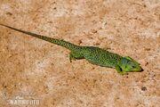 Ocellated-lizard-90053.jpg