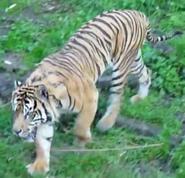 Point Defiance Zoo Sumatran Tiger