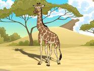 Rileys Adventures Masai Giraffe