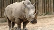 Seneca Zoo Rhino V2