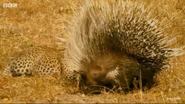 Serengeti Porcupine