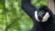 Southern white-cheeked gibbon
