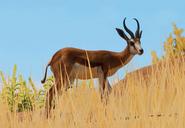 Springbok-planet-zoo