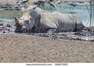 Stock-photo-white-rhino-in-mud-98607860