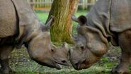 TSLoTZ Indian Rhinos