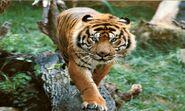 Tiger, Bali