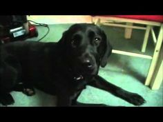 Shelby (The Black Lab)