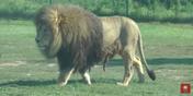 African Lion Safari Lion