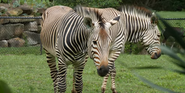 Cleveland Metroparks Zoo Mountain Zebra