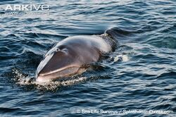 Common-minke-whale-surfacing-with-rostrum-lower-jaw-and-blow-hole-clearly-visible.jpg