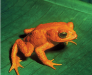 Golden Toad.png
