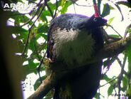 Horned-guan-on-branch