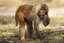 Rhesus-Macaque-8572.jpg