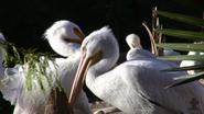 San Antonio Zoo Pelicans