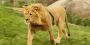 Seneca Park Zoo Lion