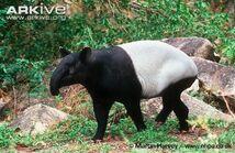 Tapir, Malayan.jpg