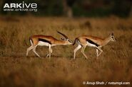Thompsons-gazelle-male-sniffing-female-to-test-if-she-is-in-oestrus