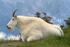 1280px-Mountain Goat USFWS.jpg