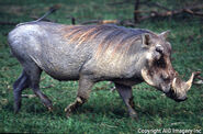 Central African warthog (Phacochoerus africanus massaicus)