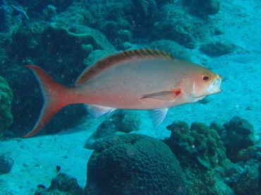 Atlantic Creole Fish