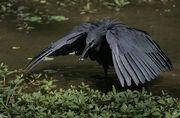 Flickr - Rainbirder - Black Egret (Egretta ardesiaca).jpg
