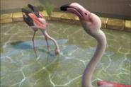 Greater-flamingo-ztuac