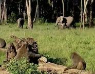 HugoSafari - Baboon&Elephant02