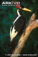 Ivory-billed-woodpecker-specimen