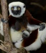 LA Zoo Sifaka