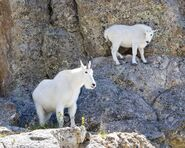 Male and Female Mountain Goats
