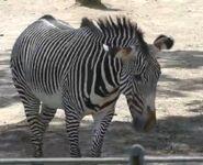 Peoria Zoo Zebra