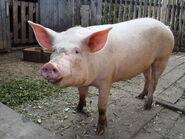 Pig, Domestic