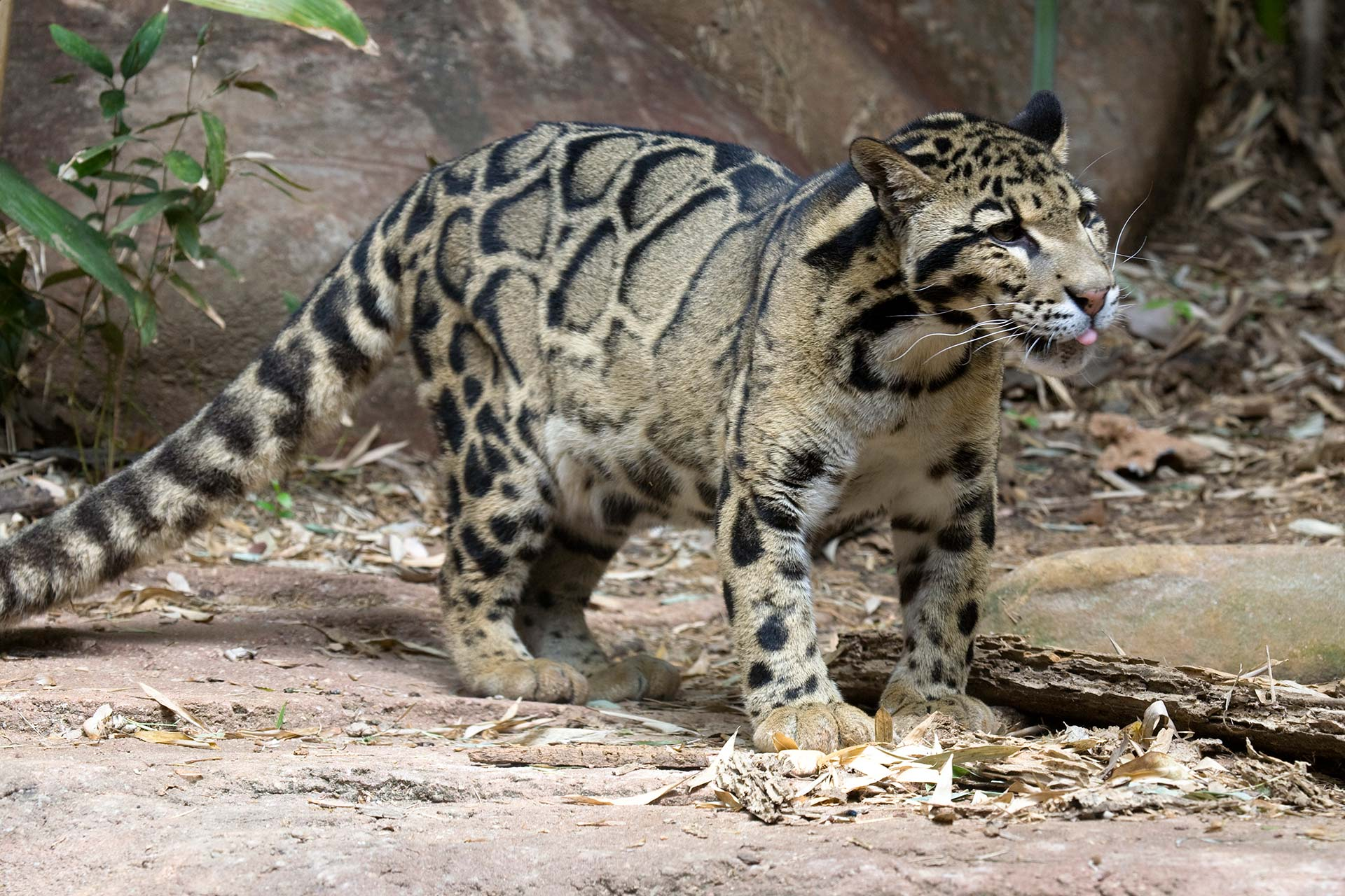 Nepalese Clouded Leopard