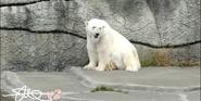 San Francisco Zoo Polar Bear