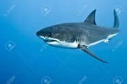 31595593-great-white-shark-carcharodon-carcharias-in-pacific-ocean-near-the-coast-of-guadalupe-island-mexico-