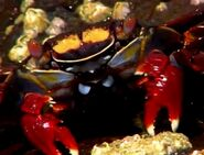 BENO Sally Lightfoot Crab