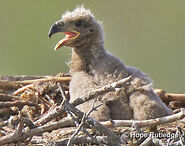 Eagle-chick-page