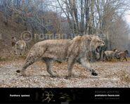 European Cave Lion (V2)