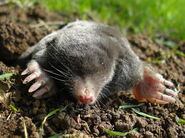 European mole (Talpa europaea)