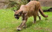 Florida panther (Puma concolor coryi)
