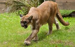 Florida panther (Puma concolor coryi).jpg