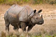 Indian Rhinoceros (V2)