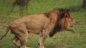 Lion Country Safari Lion