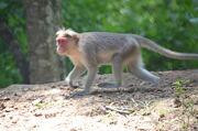 Macaque, Bonnet.jpg