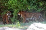 Malayan tiger and tigress