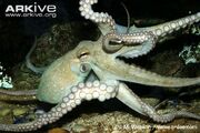 Octopus, common (Octopus vulgaris).jpg