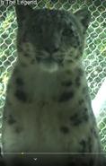 San Fransisco Zoo Snow Leopard