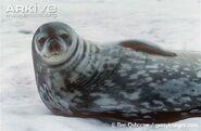 Seal, Weddell
